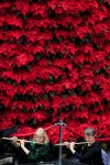 Patty Duffy, Karen Finlayson, dwarfed by the magnificent Poinsettia Tree at Genesys Holiday Concert 2012, credit Flint Journal / Griffin Moores